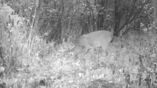 Trail Camera Buck