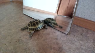 The turtle communicates with the reflection  - Video