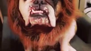 Bulldog humorously models lion costume for Halloween