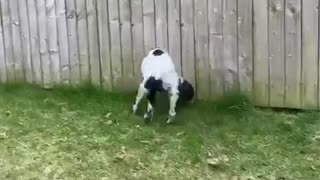 Dog is so excited by sniffing she hits her sides with her tail