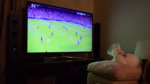 Sports-loving cat watches soccer game