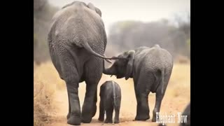 An Elephant Small walks in The Middle Of His Family