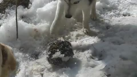 Husky and Labrador in the forest attacked a hedgehog.