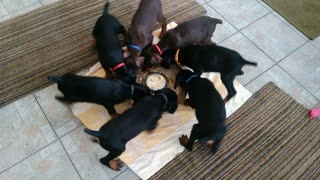This Litter Of Puppies Enjoying Dinner Is Wheely Adorable