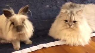 Fluffy cat and rabbit