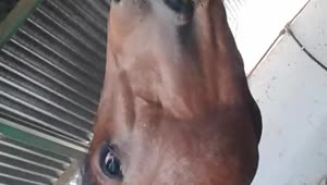 Friendly horse smiles for the camera - Video
