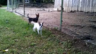 Chihuahua puppies barking - Video