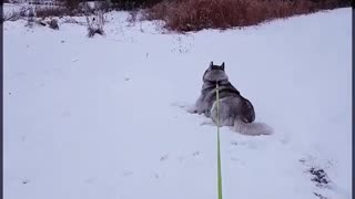 Husky Decides To Take Nap During His Walk - Video
