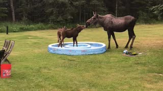 Mama and Baby Moose Kiss in Kiddie Pool