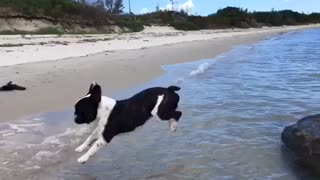Jumping French Bulldog - Video
