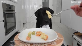 Dog has exemplary table manners - Video