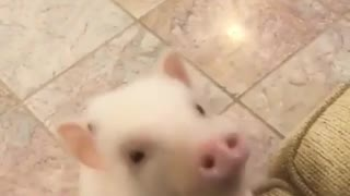Little cute tiny piglet is always watching on you
