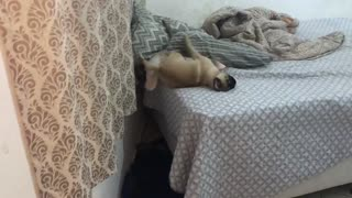 Cute Pug Scales Wall - Video