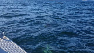 Dall Porpoises Frolic with Fishing Boat