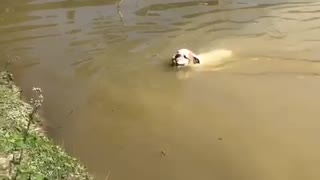 Determined bulldog jumps in water to fetch ball