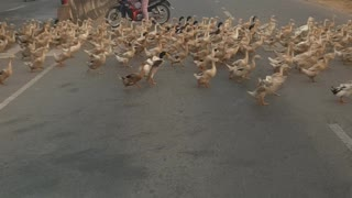 The Traffic is Put To A Standstill While A Vast Flock Of Ducks Is Crossing The Road