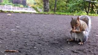 Friendly squirrel snacks on acorn for camera - Video
