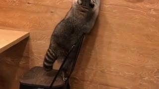 Clumsy raccoon falls off chair in epic wipeout