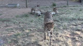 Do Cheetahs Purr?
