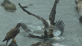 Juvenile Eagle Body Slams Adult for Some Fish
