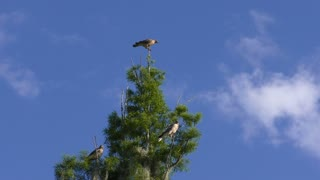 Red Shouldered Hawks family on a tree