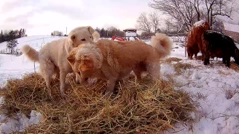 Guard dogs and hay play