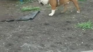 Dog Puts Kid in the Dirt