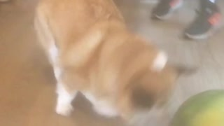 Corgi Plays Soccer With Watermelon - Video