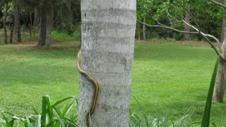 ohhh this big snake climbing tree, big and dangerous snake  - Video