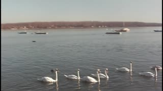 Gathering swans - Video