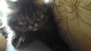 Cute kitten flopped over the back of the couch  - Video