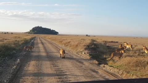 Lion Pride Crossing road in Serengeti