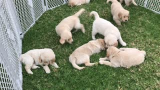 Cute Golden Puppies