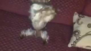 Dog hind legs begging red couch - Video