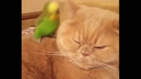 Soft Kitty... BORED Kitty ... EXCITED Parrot ! Funny Cat Video