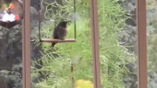 Hummingbird Relaxes On Swing During Storm
