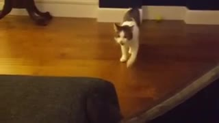 Cat plays fetch and brings back toy
