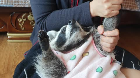 Raccoon lies down and changes his arms to get his mom's massage.