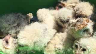 Many baby owls rescued after deforestation
