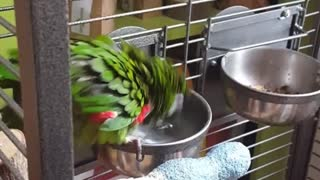 "Meet Zazu, the world fastest ""dip-yourself-in-the-waterbowl"" Hahnmacaw"