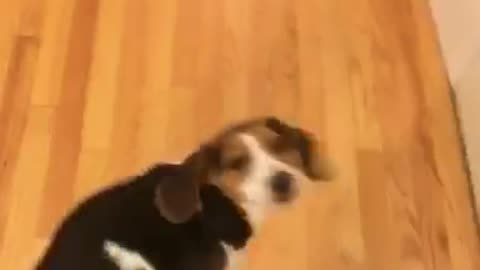 Beagle gets fake shot and spins in circle for treat