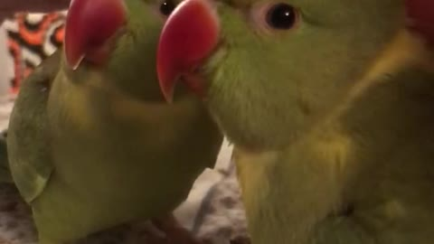 Adorable talking parrot tells owner he wants tickles and cuddles.