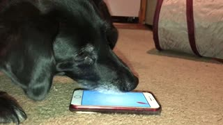 Dog fascinated by smartphone game designed for cats - Video