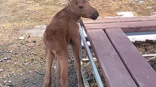 Friendly Young Moose Calf - Video