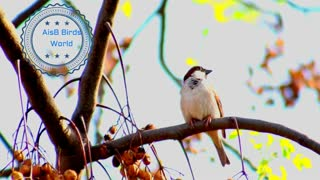 Tree Sparrow on a beautiful tree chirping