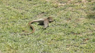 Snake and Lizard Duel under the Australian Sun