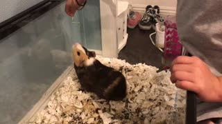 Little girl teaches guinea pig new trick
