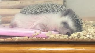 hedgehog is waiting for warms in the house - Video
