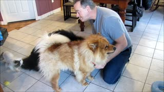 Funny ways to feed a chow chow dog - Video