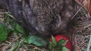 Mini Lop Baby Bunny Eating a Strawberry